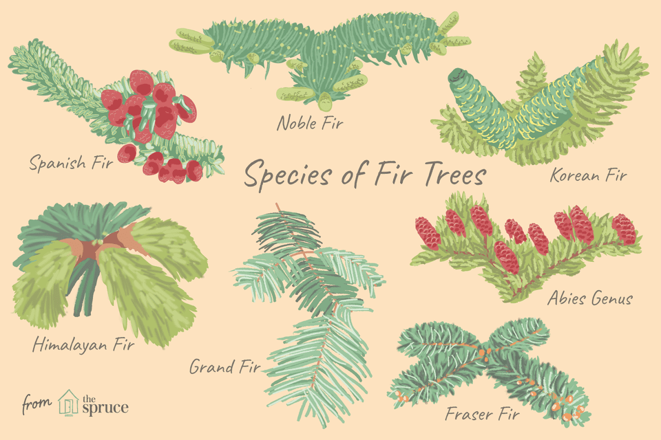 illustration of species of fir trees