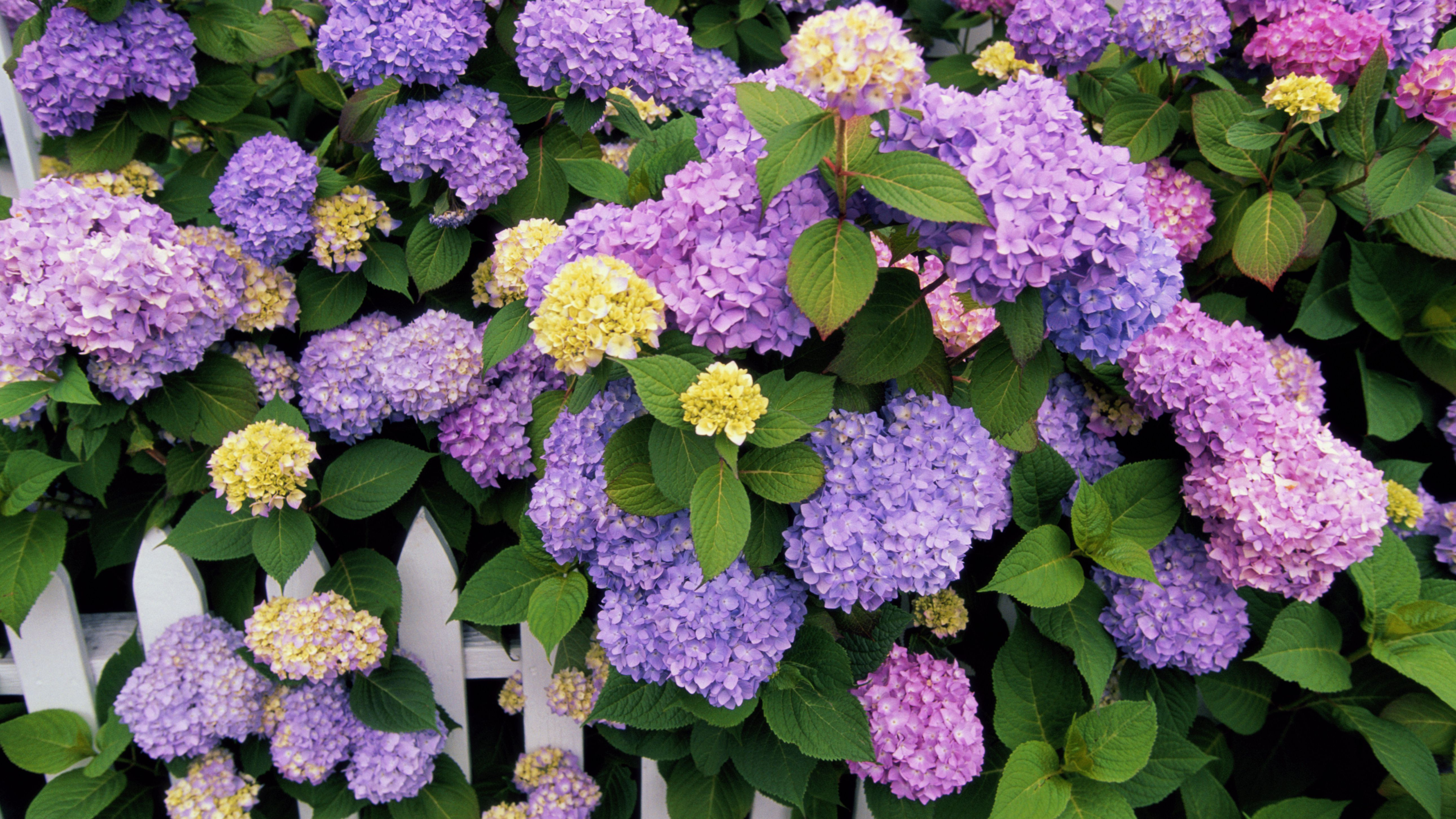 How Plant Grow And Prune Hydrangeas