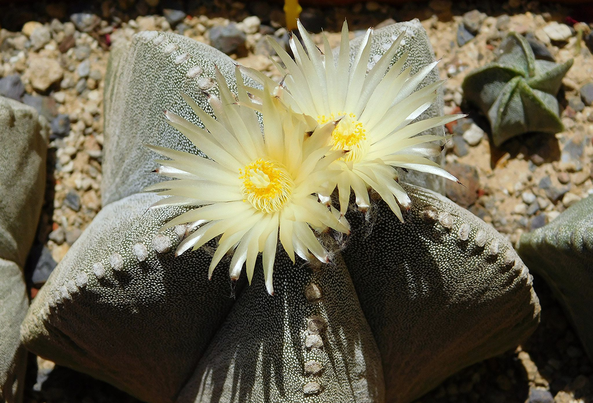 How To Grow Astrophytum Cacti