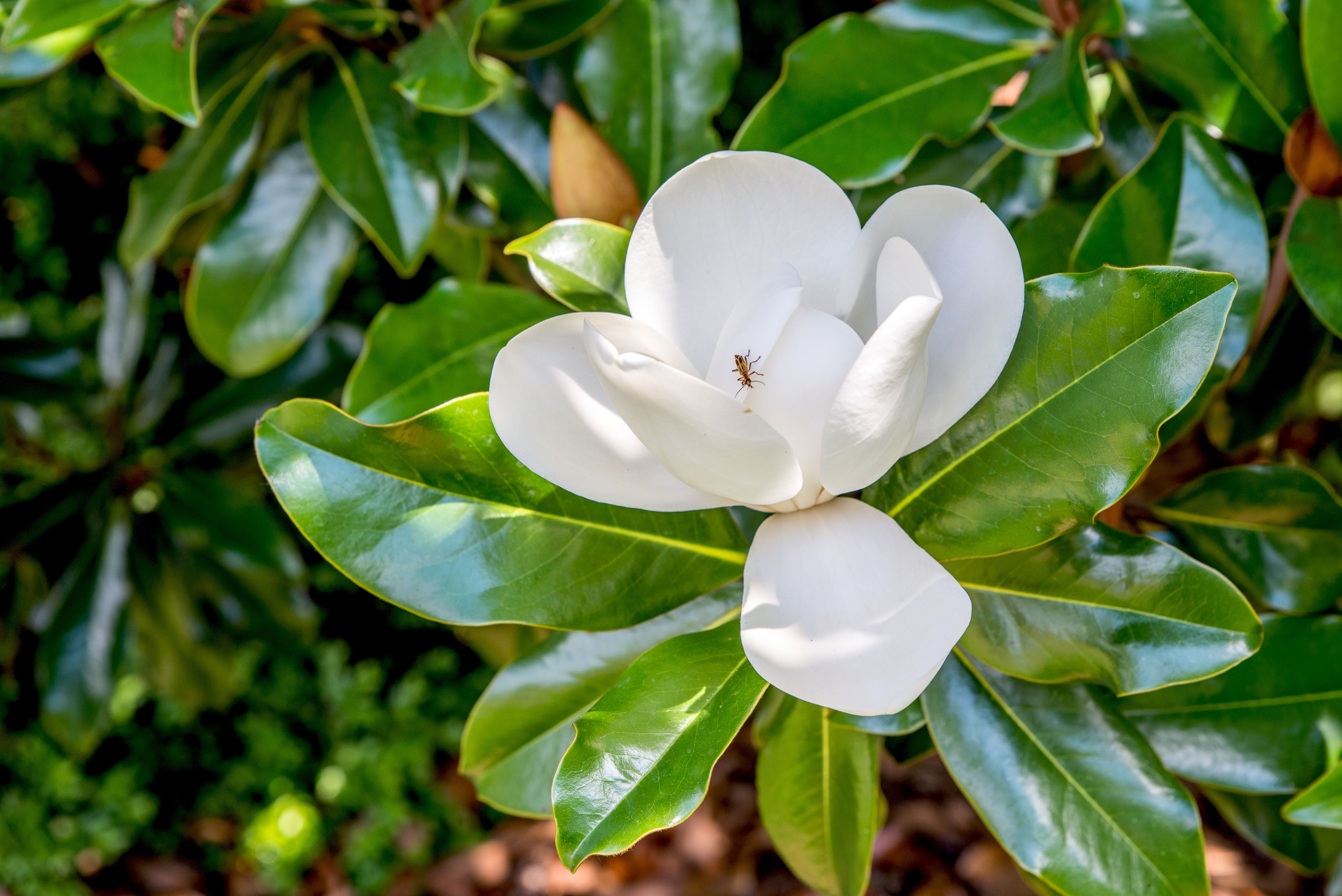 12 Common Species Of Magnolia Trees And Shrubs