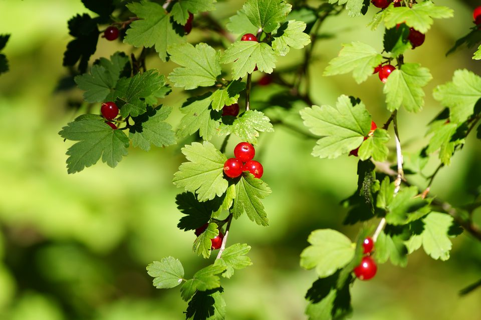 Alpine currant (Ribes alpinum) leaves and fruits growing outdoors.