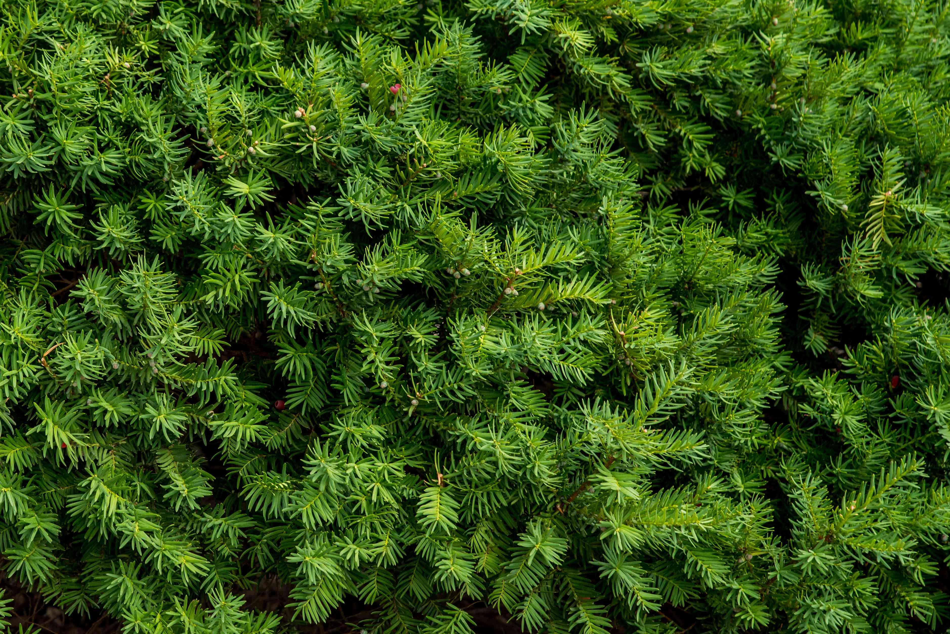 yew foliage detail