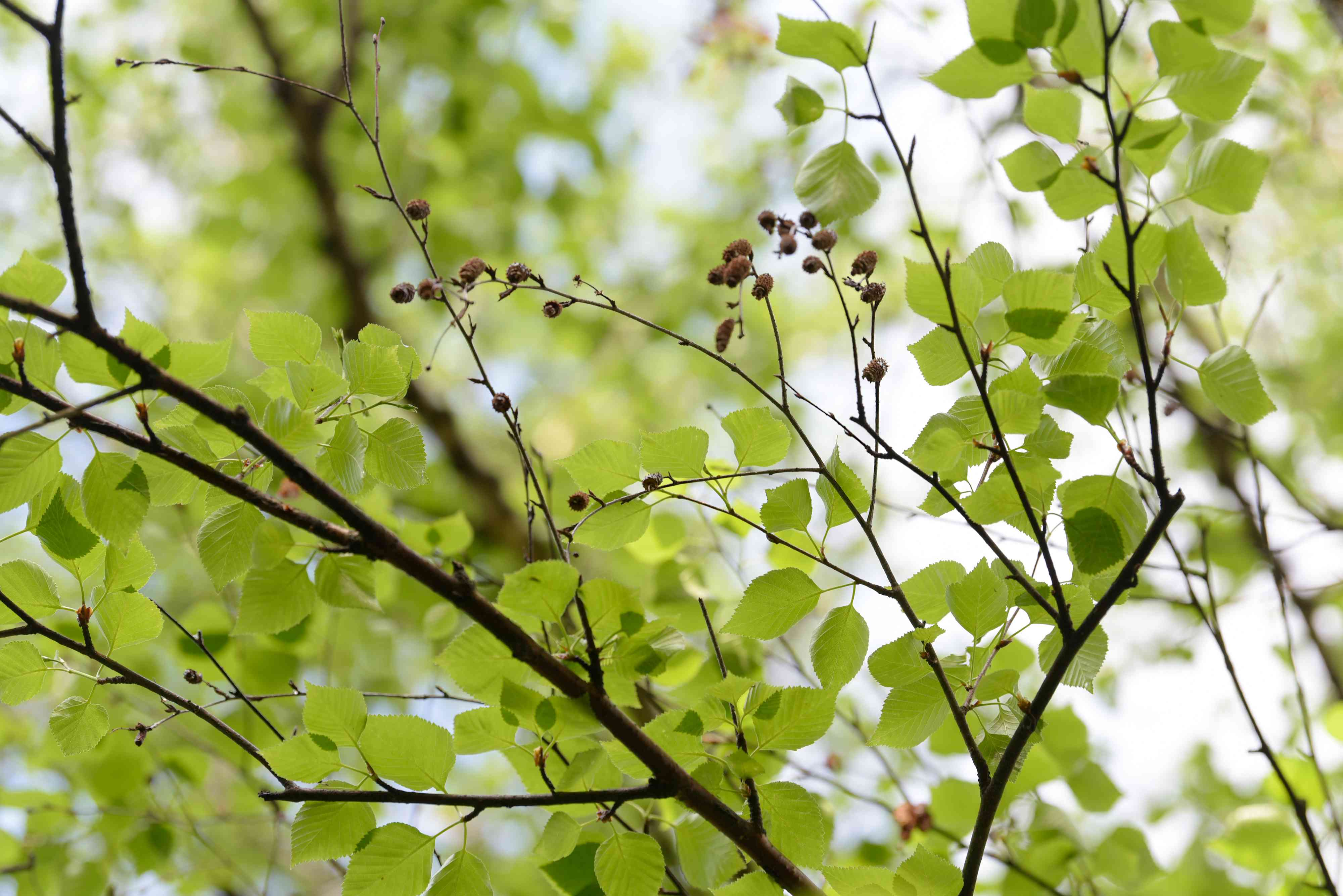 Paper birch tree branches with bright green leaves and buds closeup