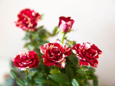 Marbled red and white roses with upright necks and leaves closeup