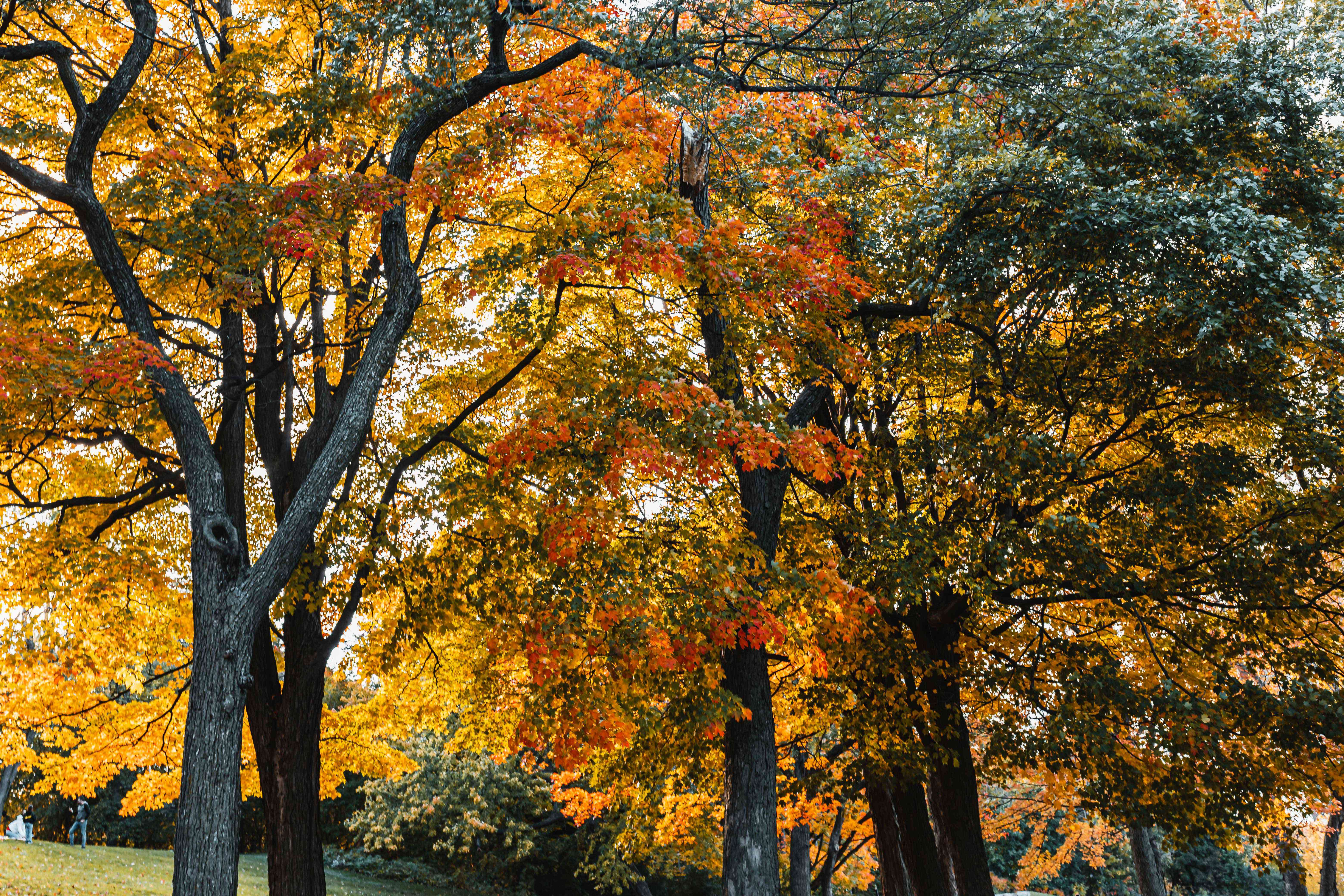 sugar maple and red maple trees