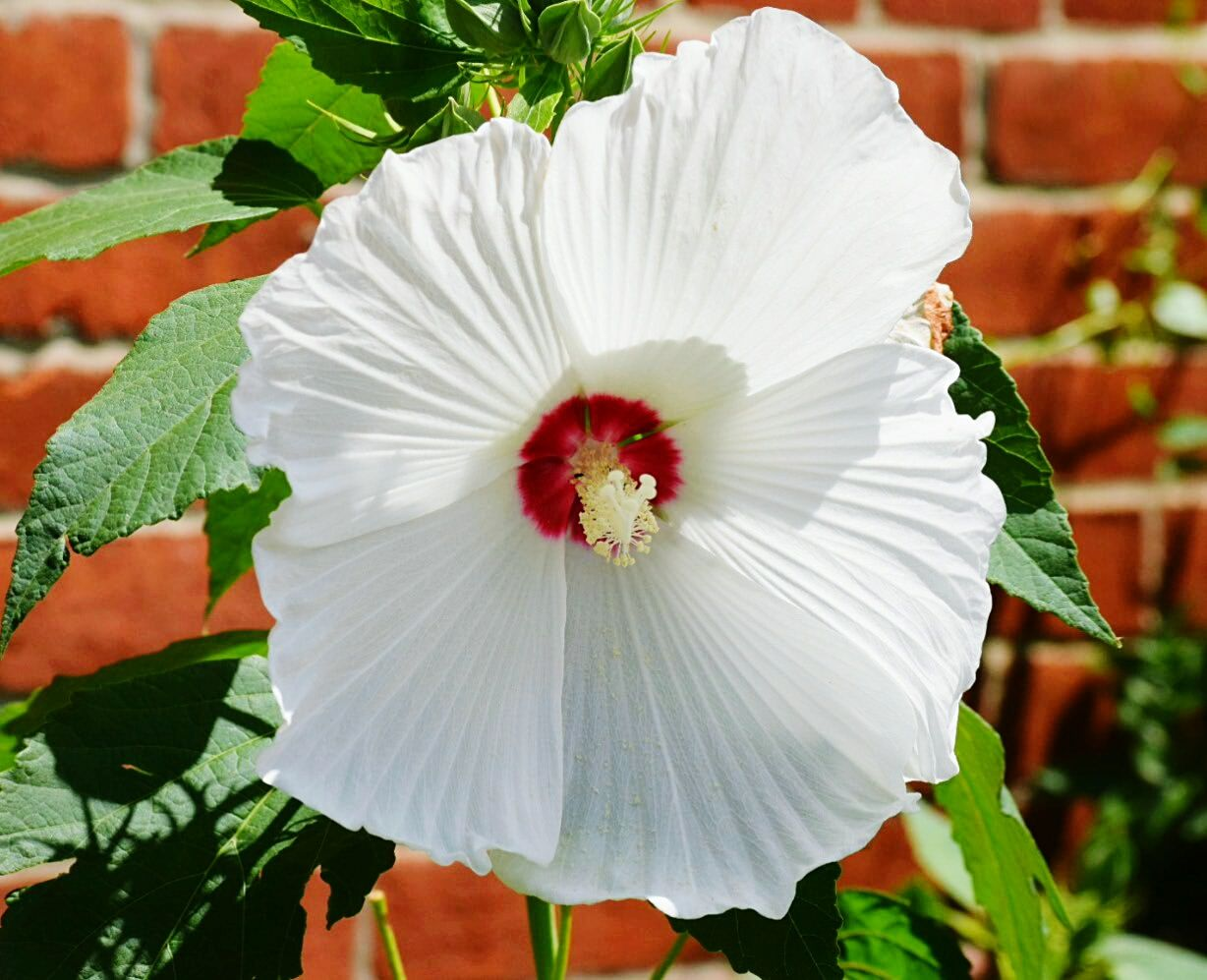 Hardy Hibiscus Flower