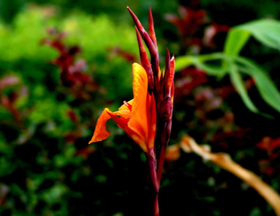 Image of an orange canna lily flower
