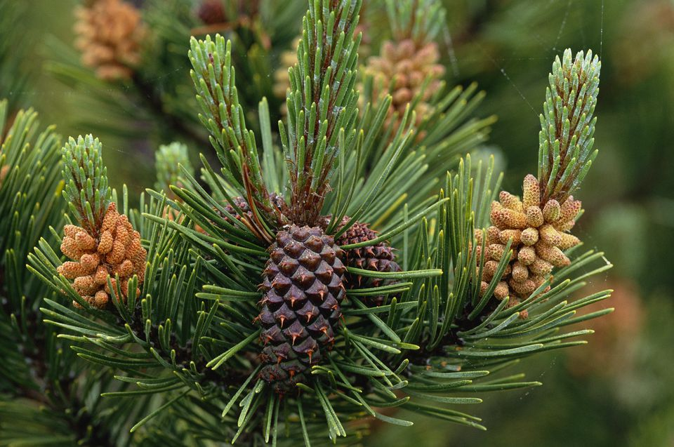 Detail of lodgepole pine seed and pollen cones