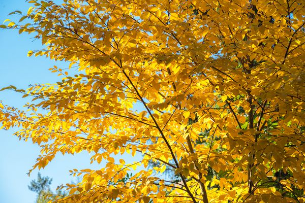 Yellow birch tree with bright yellow leaves on thin trunk and branches