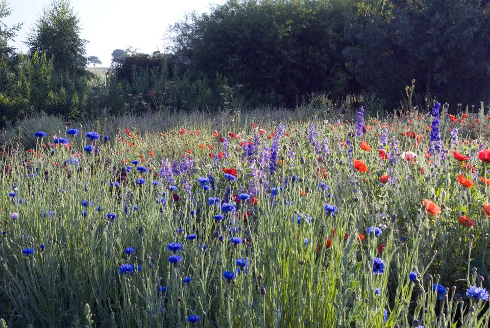 Cornflowers (Centaurea cynanus), poppies (Papaver rhoeas) and larkspur (Delphinium consolida) in cutting garden, summer