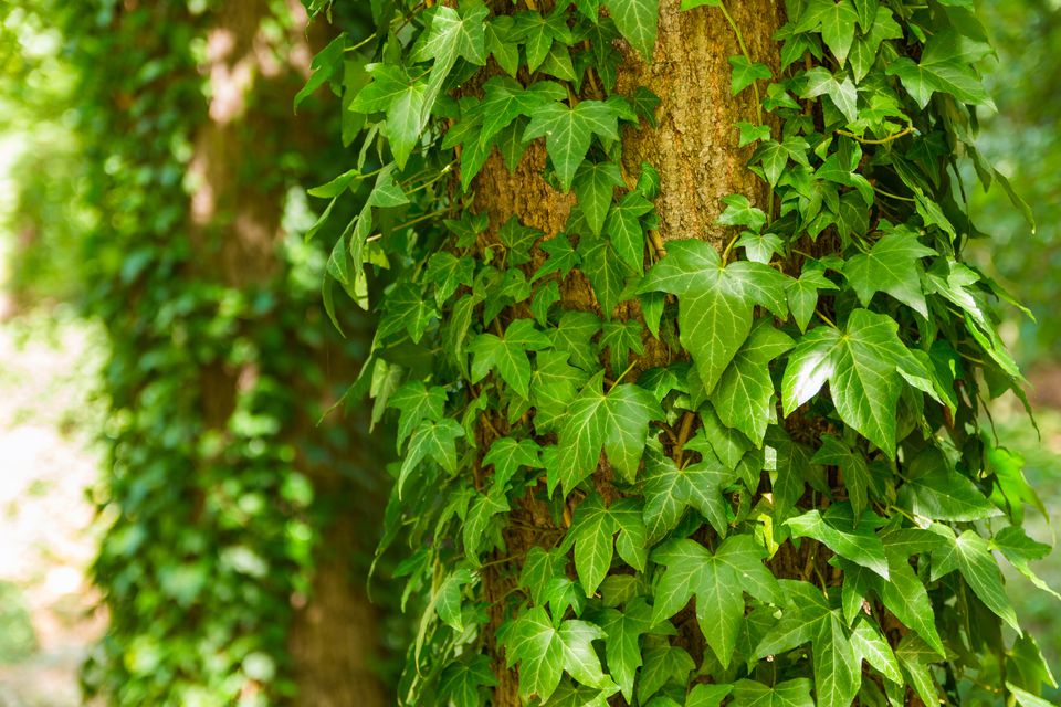 English Ivy growing on a tree.