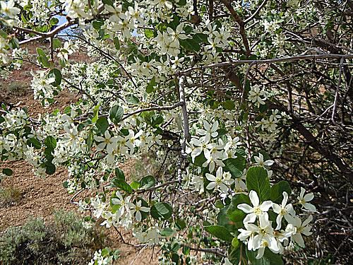 Meet 9 species of serviceberry trees and shrubs picture of utah serviceberry altavistaventures Gallery