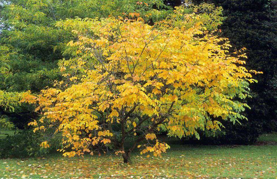Yellowwood tree with bright yellow and yellow-green leaves during fall
