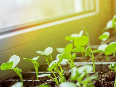 seedlings receiving sunlight