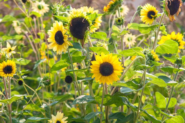 Perennial sunflowers with yellow and white radiating petals on tall thin stems