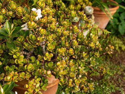 Jade succulent with yellow-green leaves with red tips growing over clay pot closeup