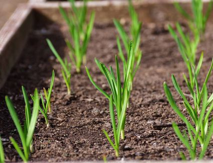 garlic scapes rising out of the ground