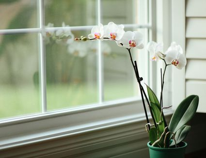 Tips For Growing Dendrobium Orchids