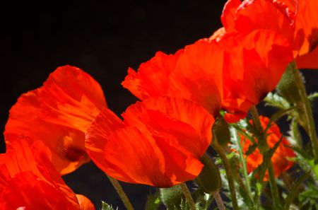 Oriental poppy facts growing tips for an orange beauty oriental poppy flowers add zest with their orange flowers mightylinksfo
