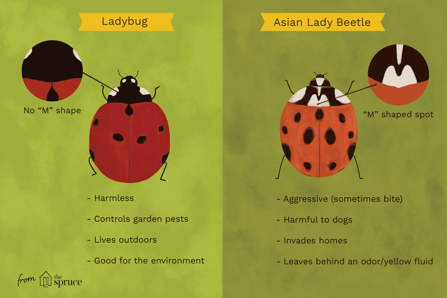 Native LadyBugs vs. Asian Lady Beetles