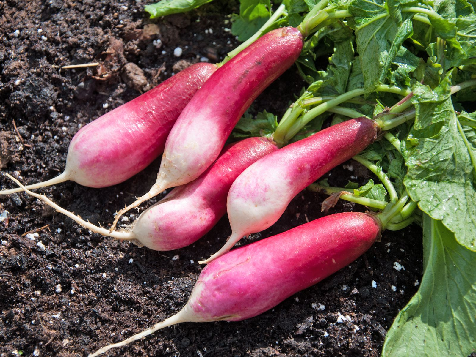 4 Common Problems with Growing Radishes