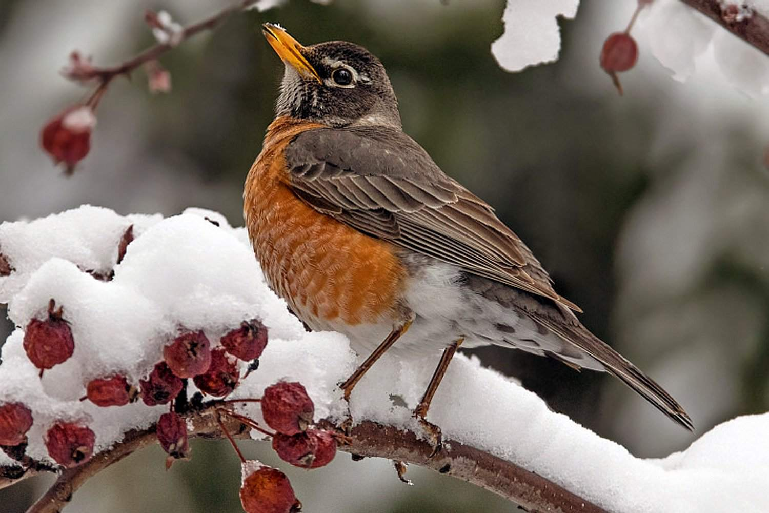 American Robin, state bird of Connecticut, on a snowy branch.