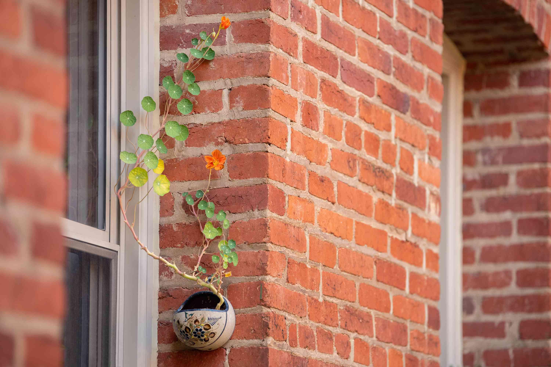 nasturtium in a wall planter
