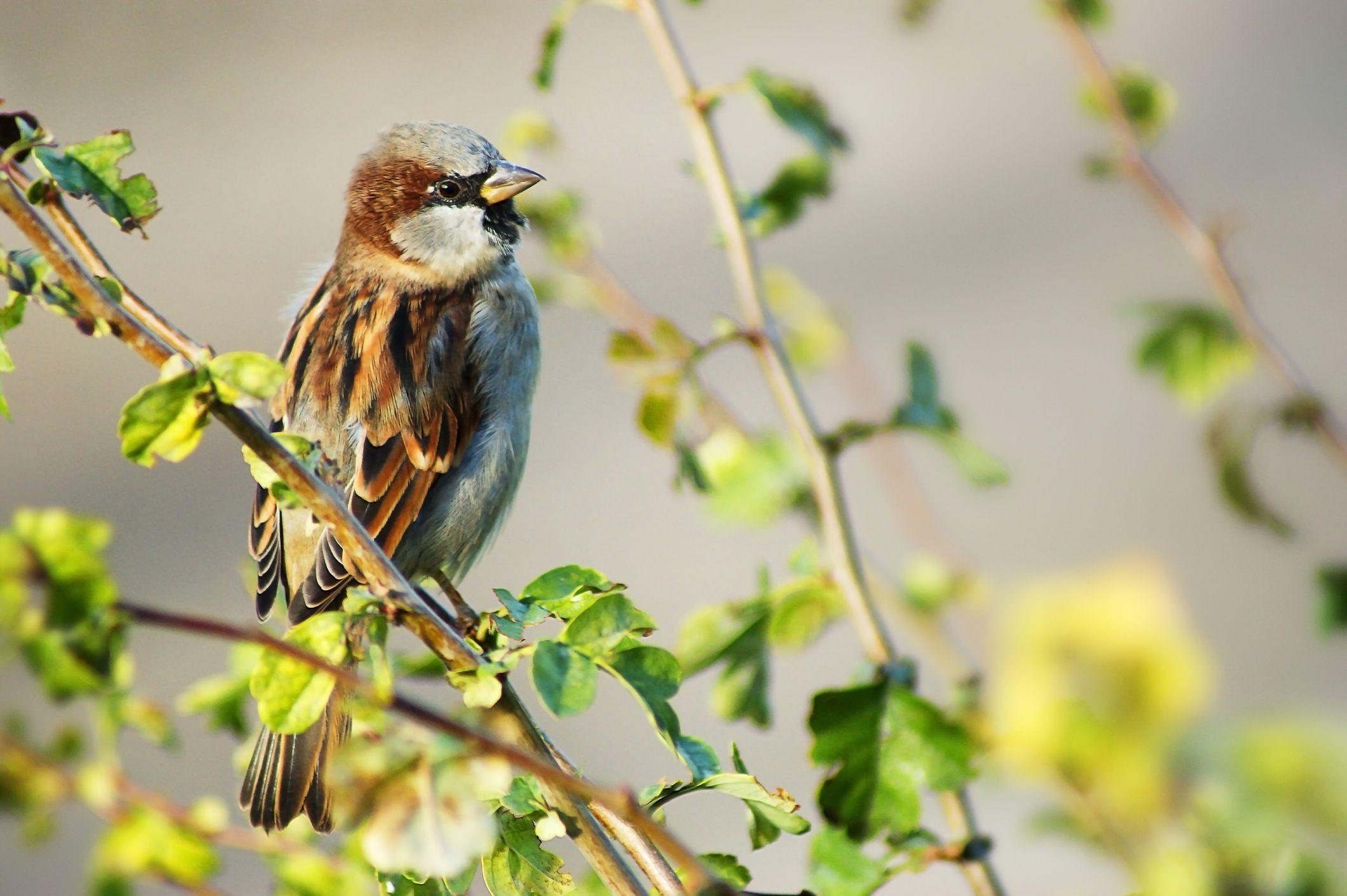 House Sparrow Identification Diagrams