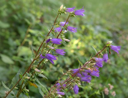 Creeping bellflower plant with drooping bell-shaped purple flowers on thin stems