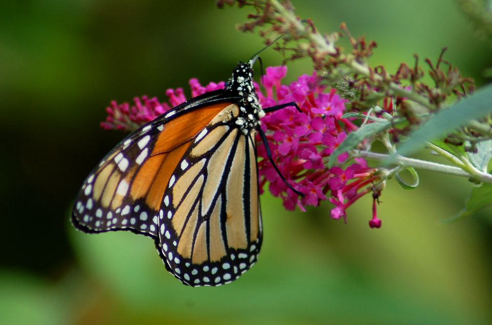 A monarch on a butterfly bush flower.