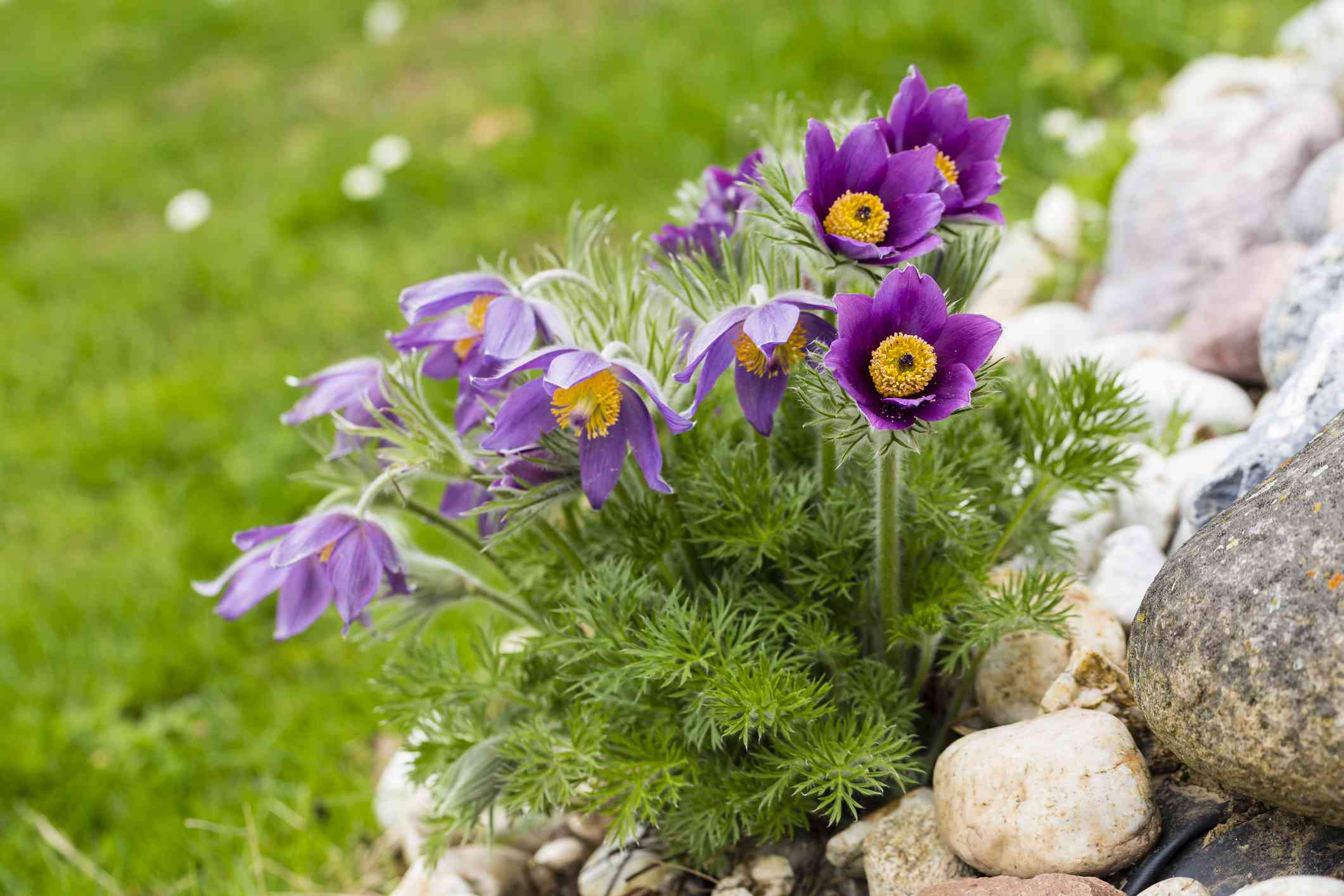 Patch of pasqueflower growing on a mountainside