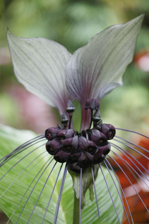 White batflower (Tacca integrifolia)