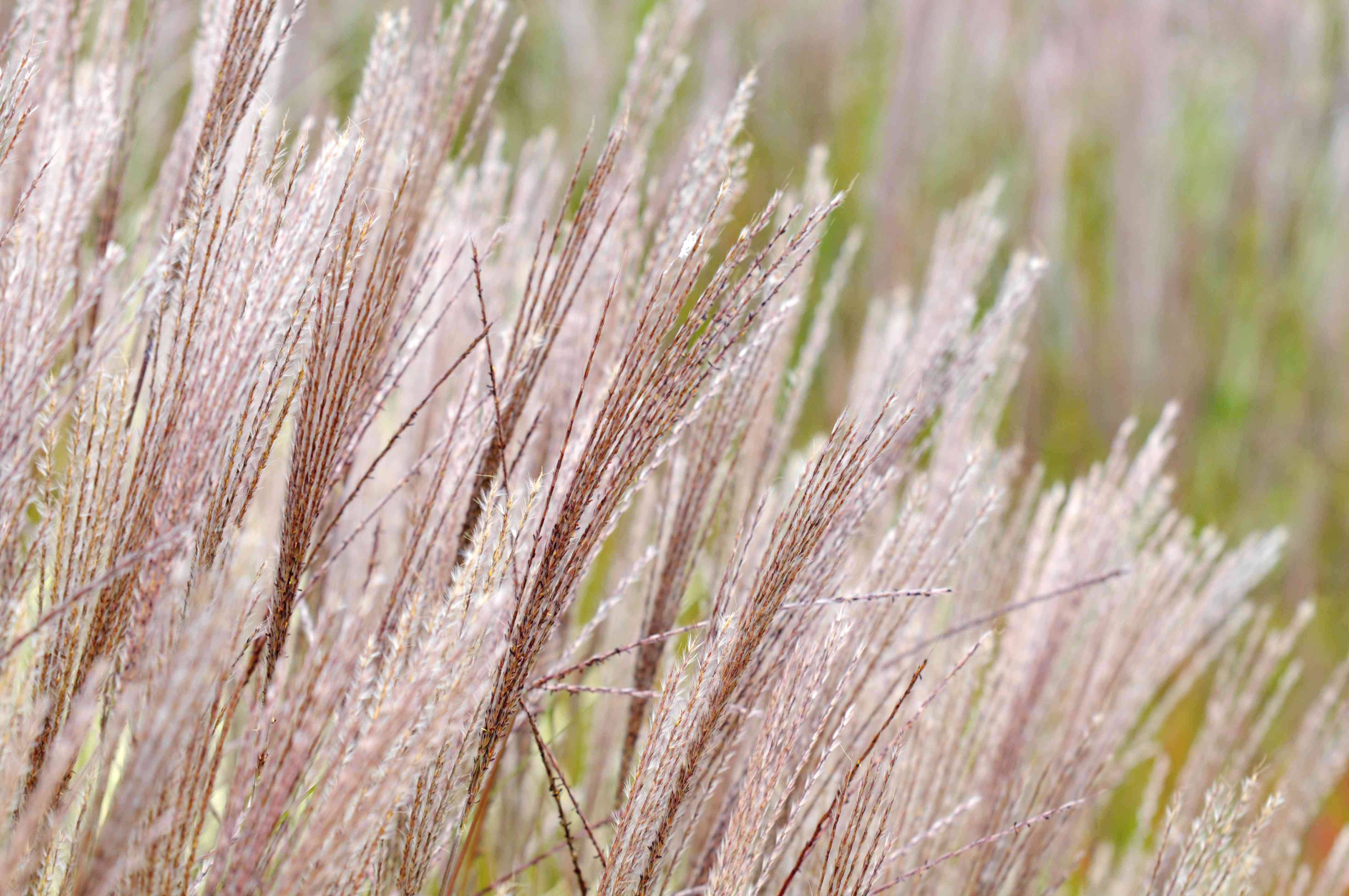 closeup of Japanese silver grass