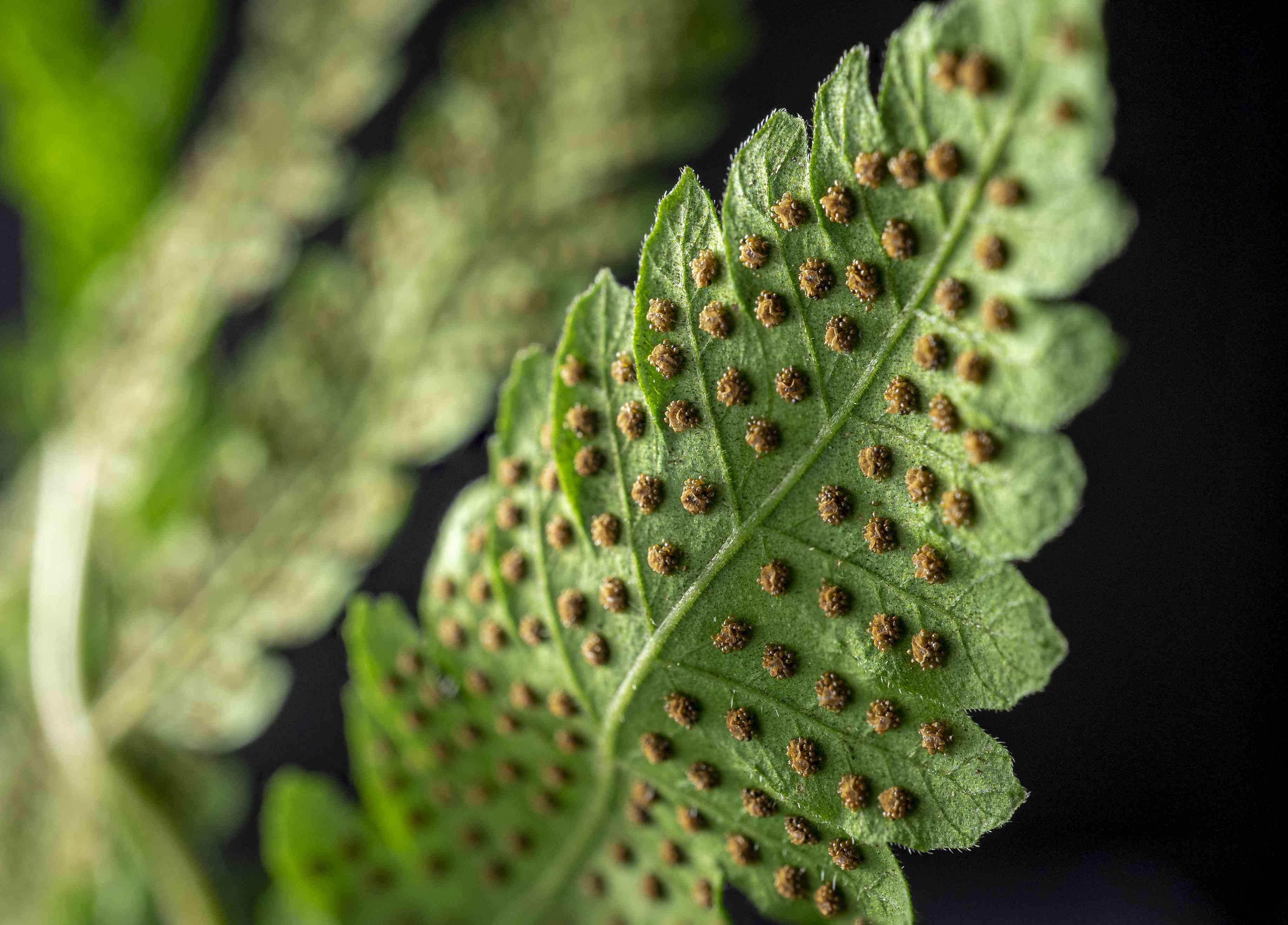 Western sword fern (Polystichum munitum) spores on the backside of a frond.
