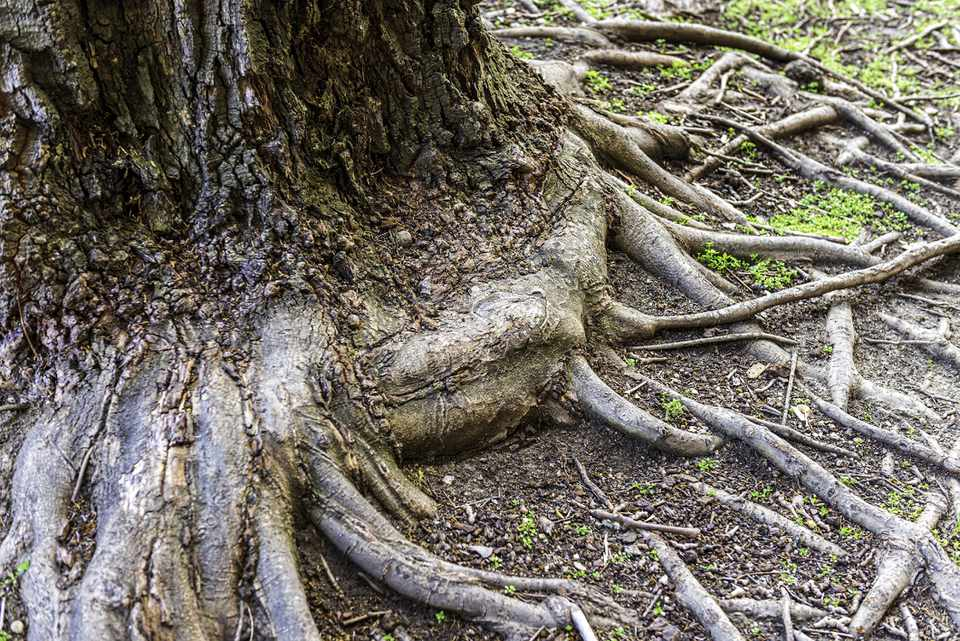 Tree roots exposed by erosion