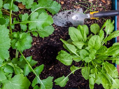 Sorrel plants being planted in garden with hand shovel on soil