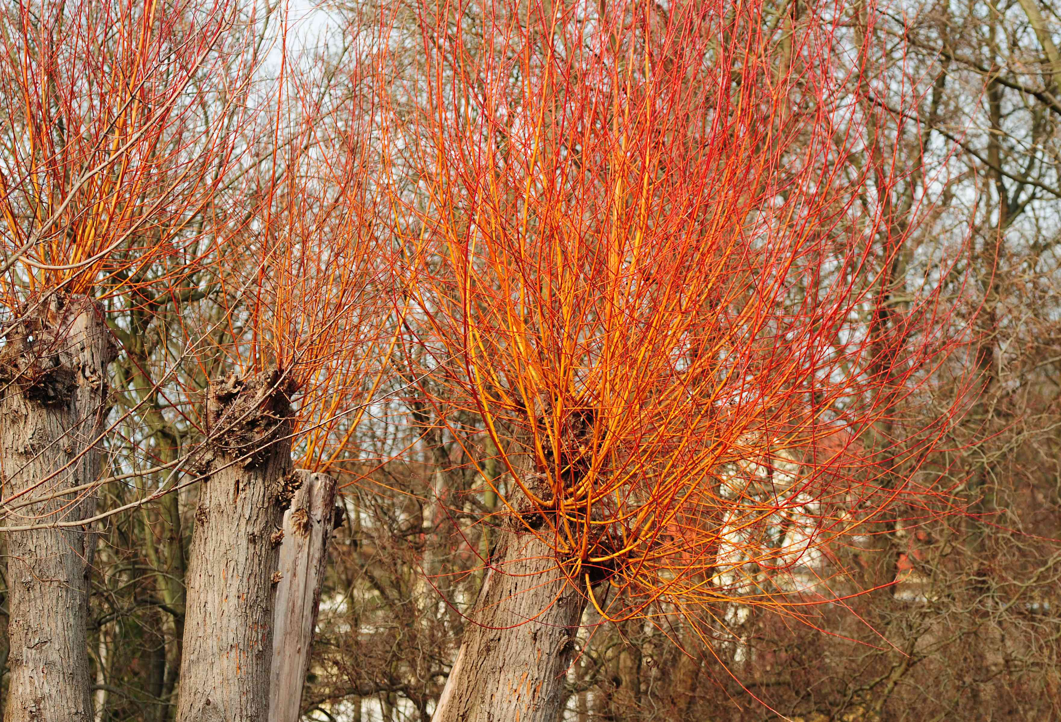 Red twig dogwood with think trunks and bare orange branches