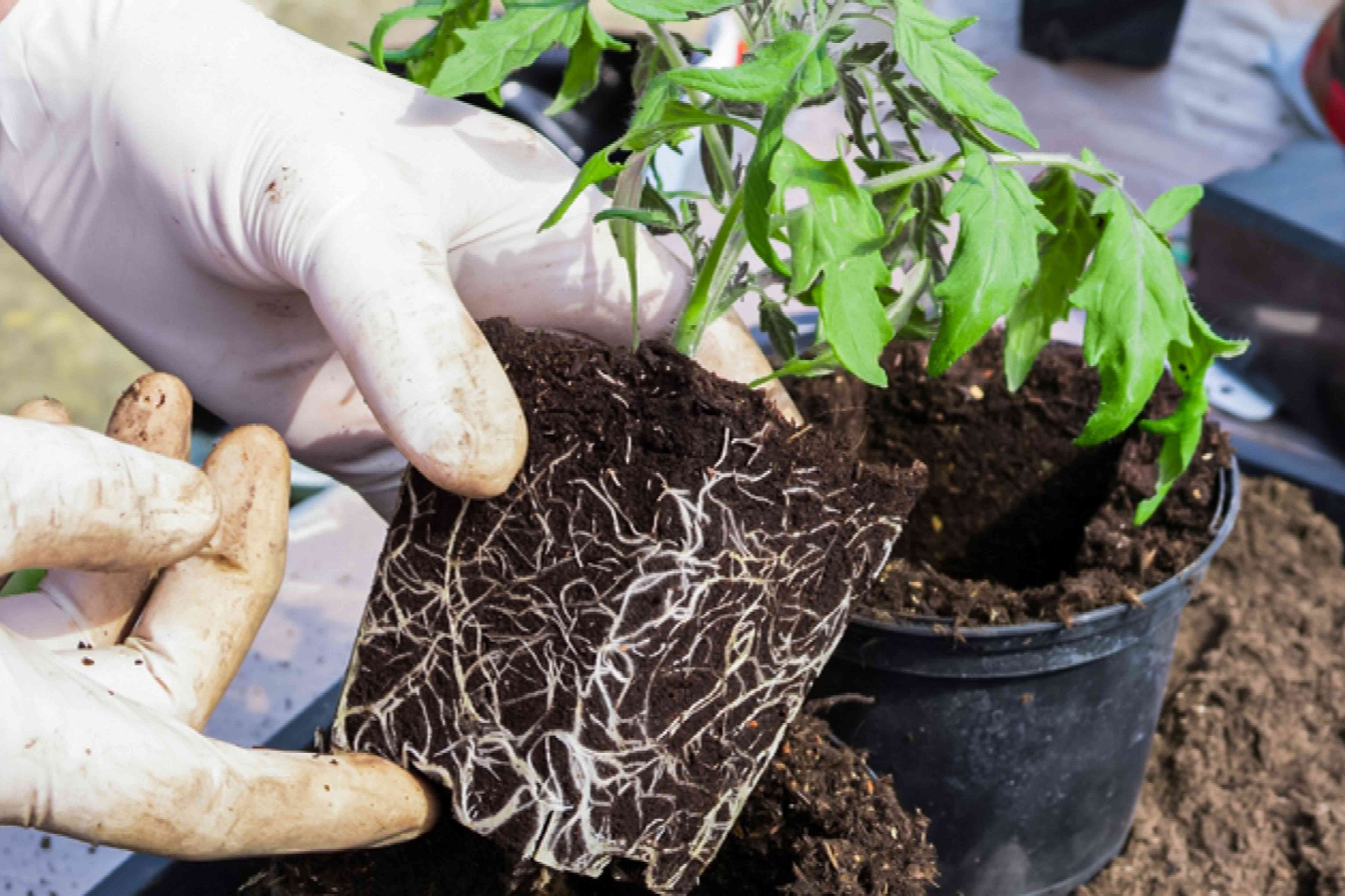 planting tomatoes deeply