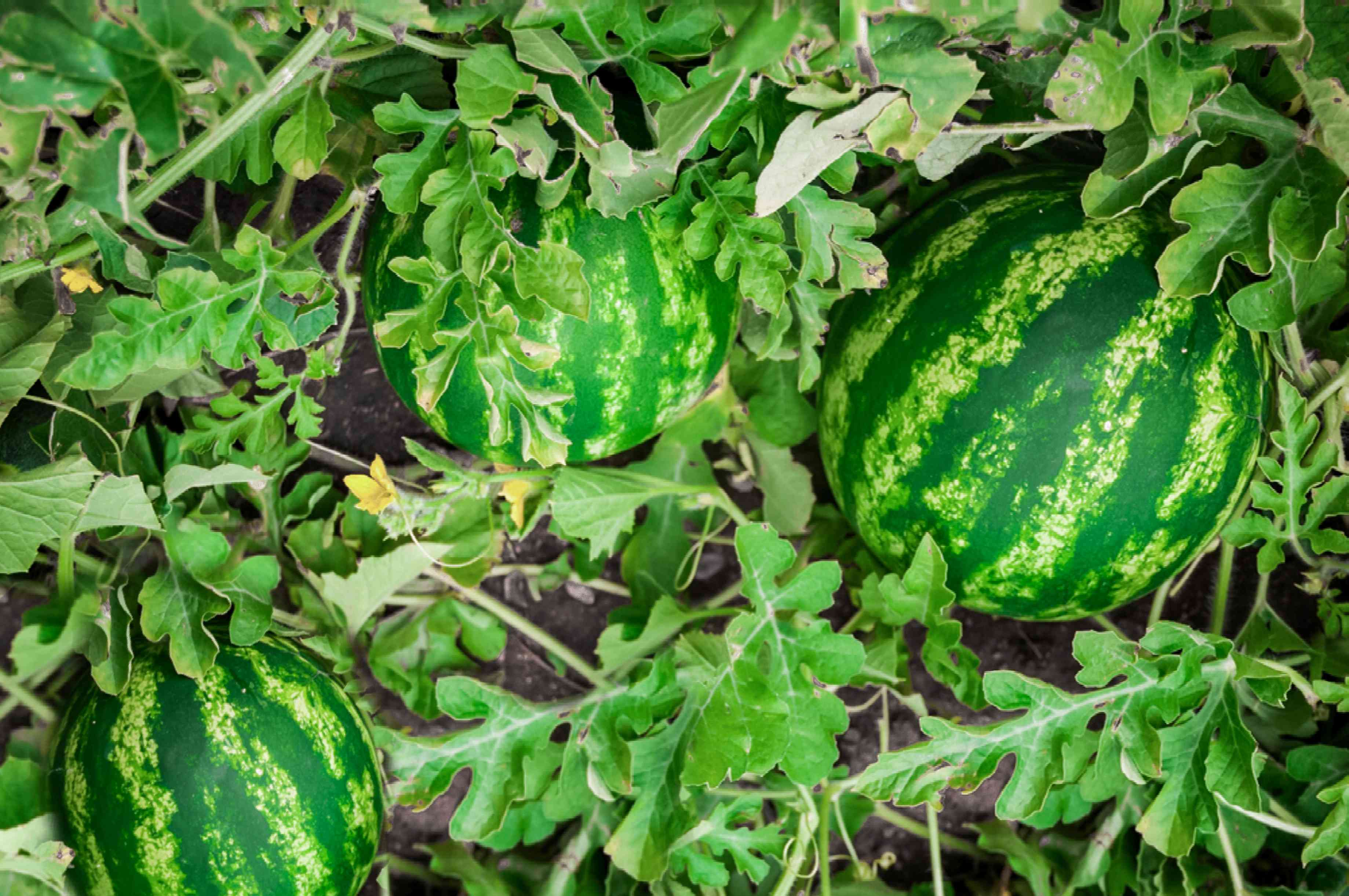 Watermelon fruit in middle of vine patch and leaves
