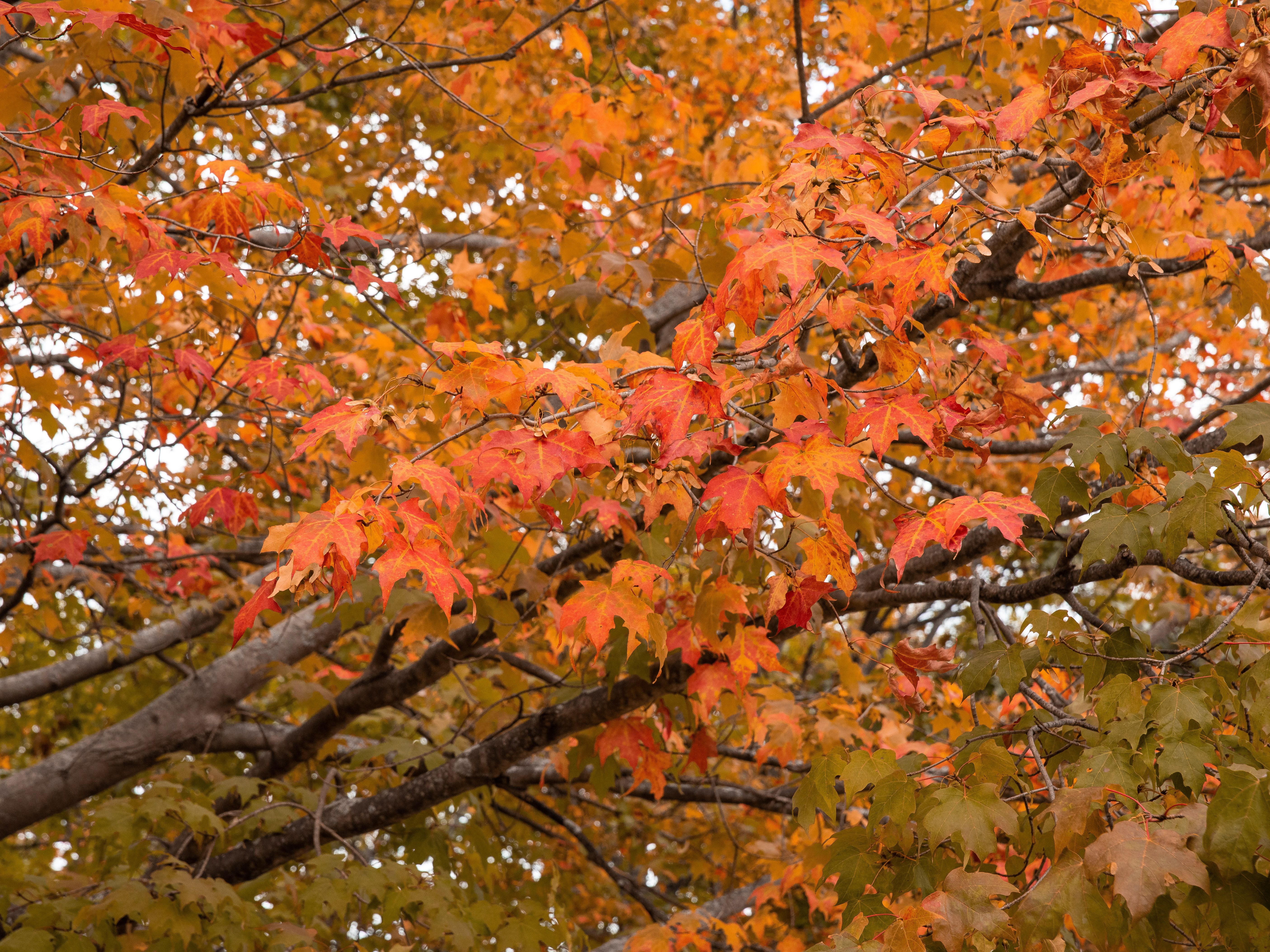 10 Maple Trees For Best Fall Color