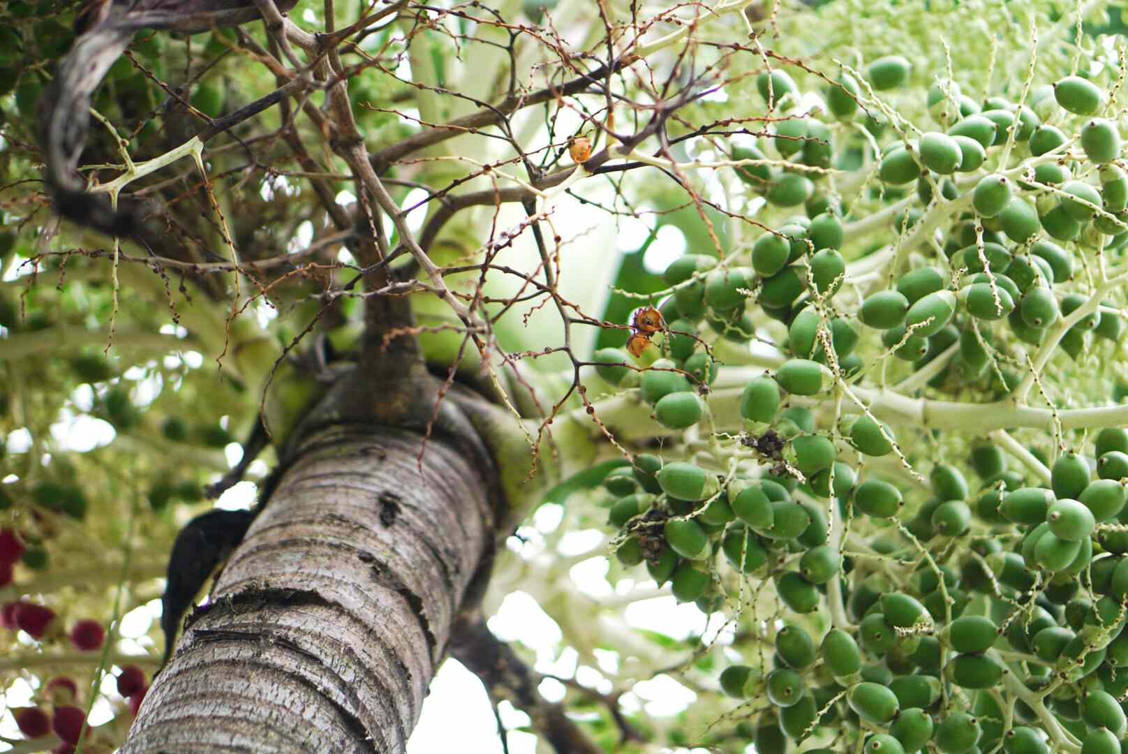 Flowering palm tree with green seeds and branches