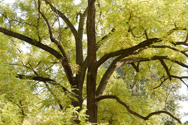 Black walnut tree with dark bark trunk and branches surrounded by yellow-green leaves