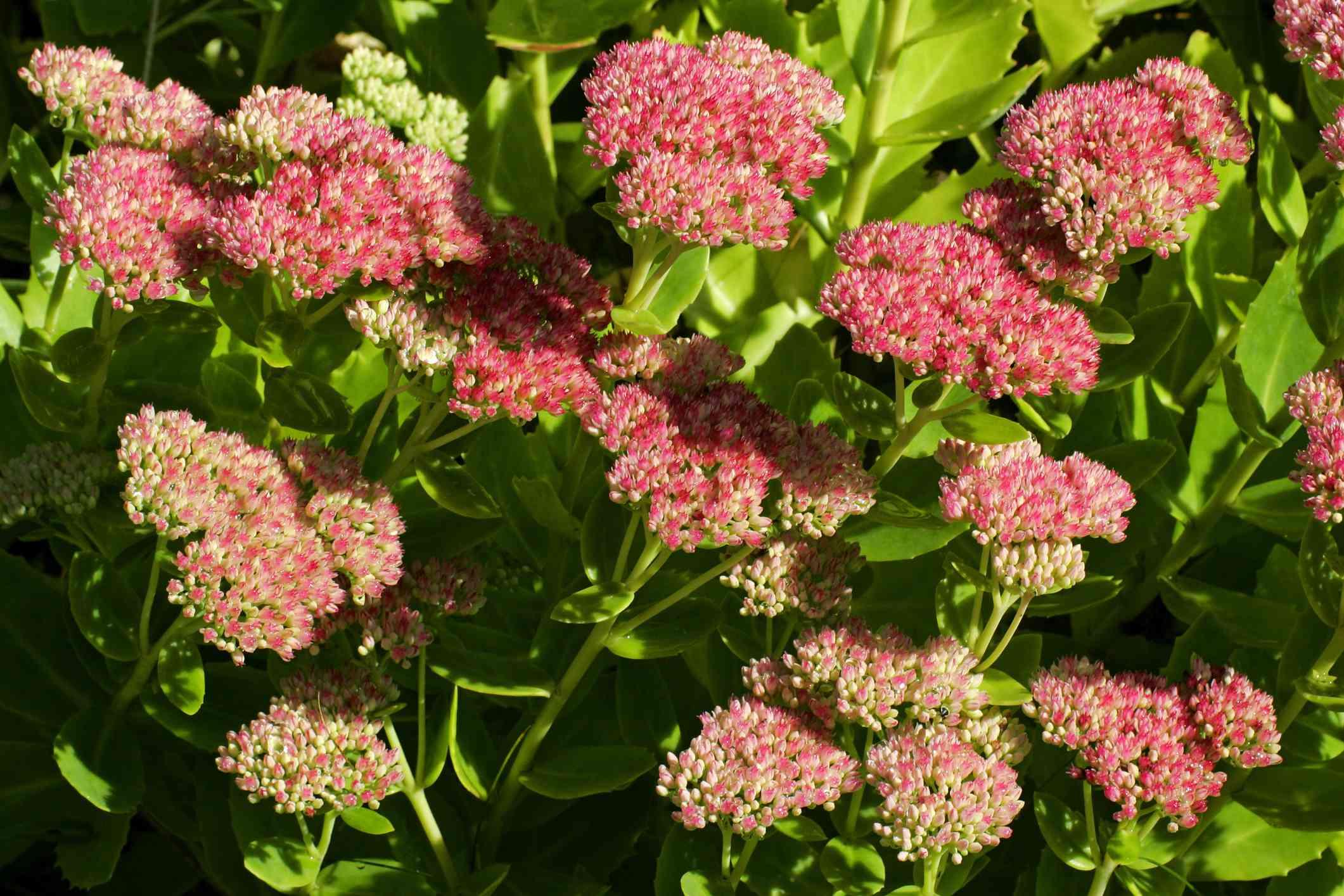 Autumn Joy Stonecrop in bloom.