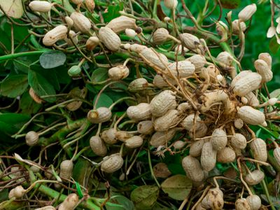 Peanut plant with peanuts on ends of vines