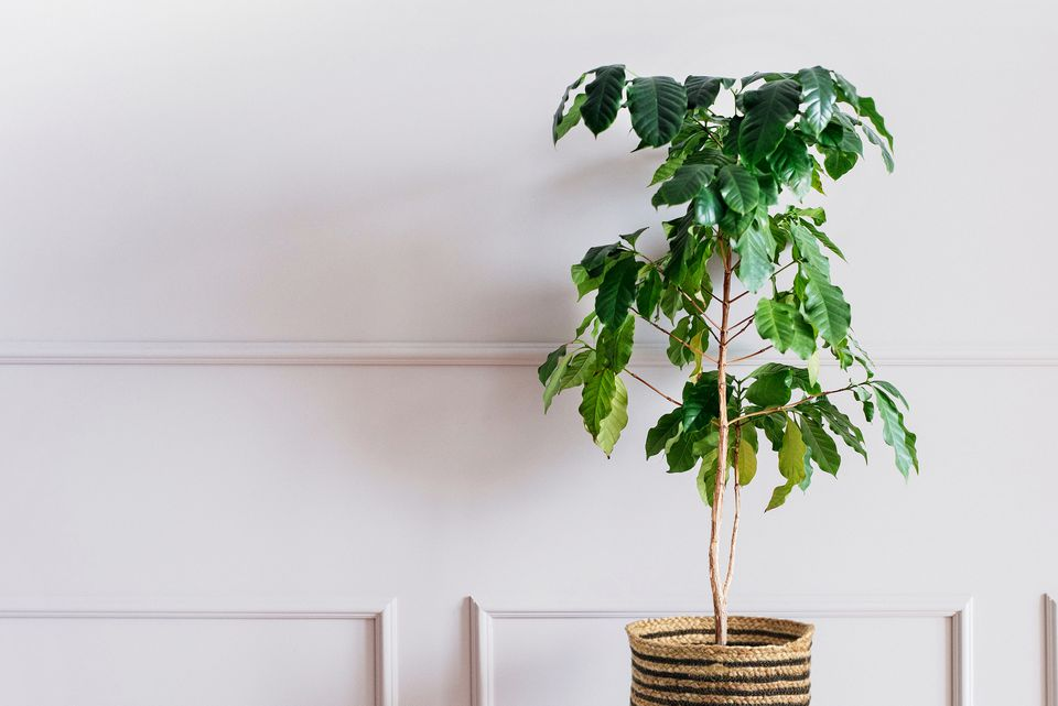Coffee plant in wicker container in front of white walls