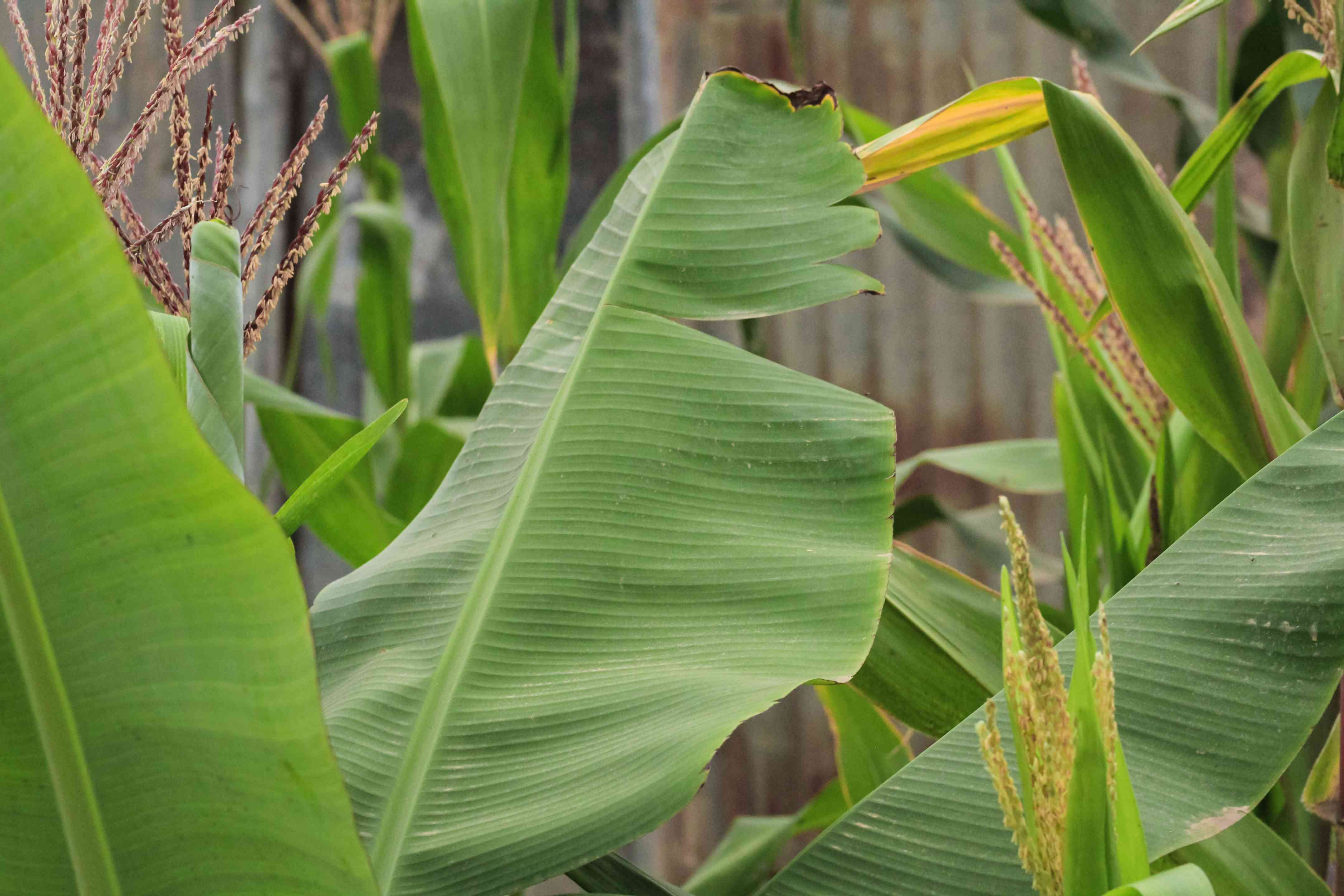 Snow banana tree with large thick leaves with cuts on sides closeup