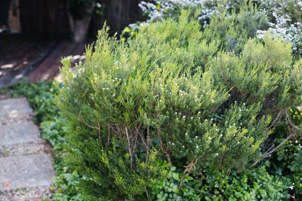 Evergreen shrub with small white flowers on end of branches next to pathway