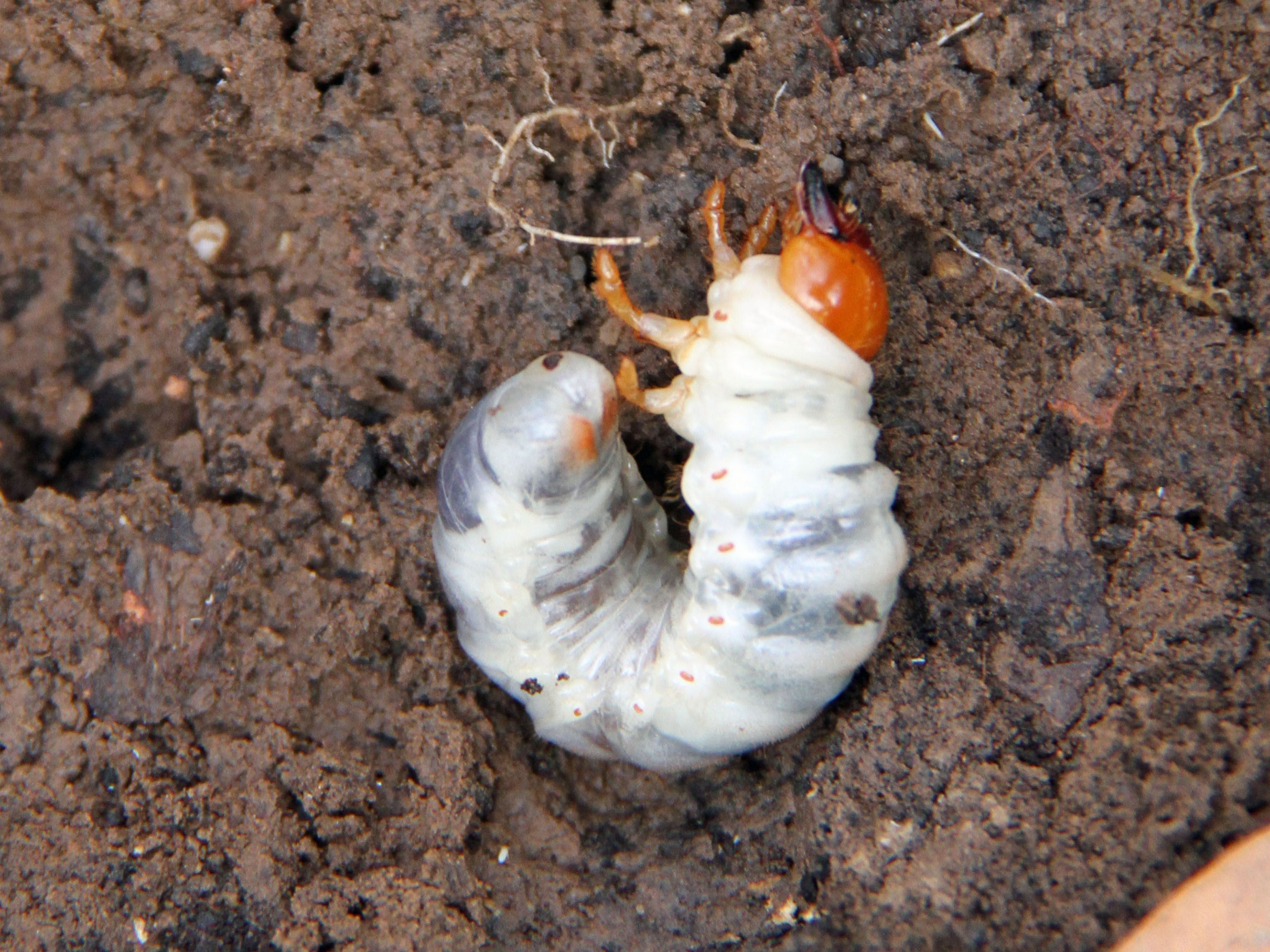 How To Prevent And Deal With Lawn Grubs
