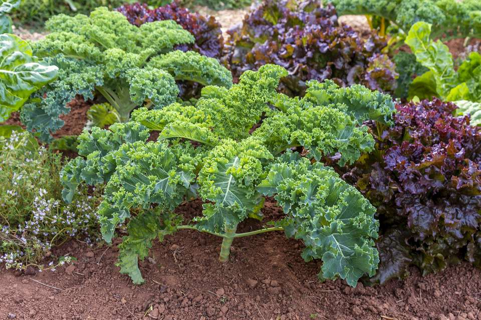 kale growing in a garden