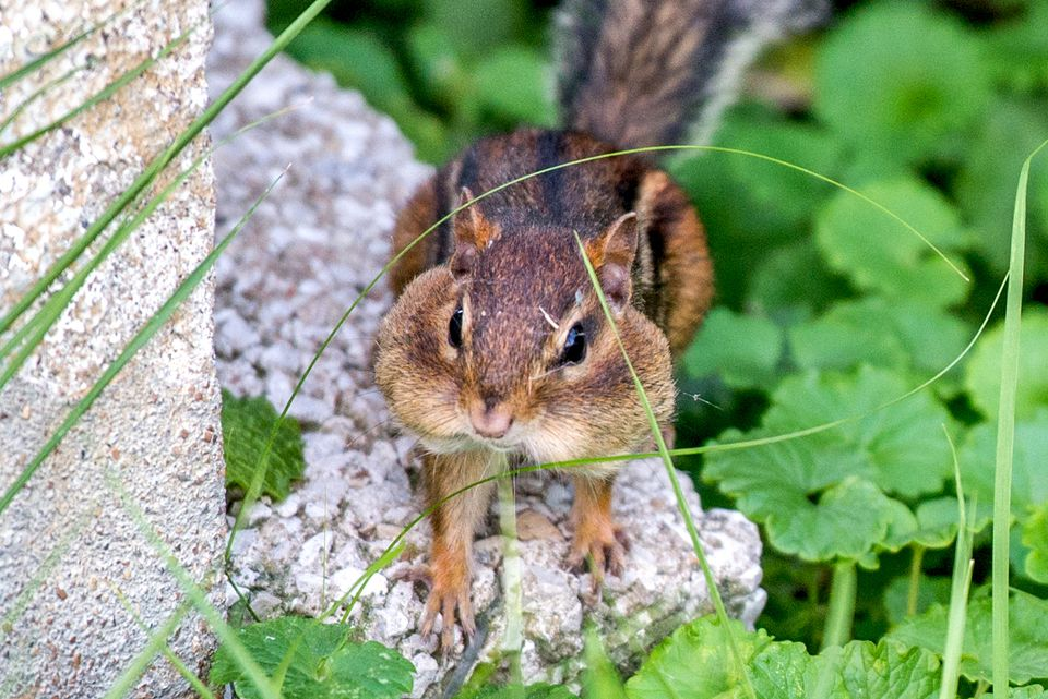 chipmunk in a garden